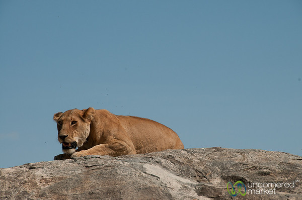 Female Lion on Rock - Serengeti, Tanzania