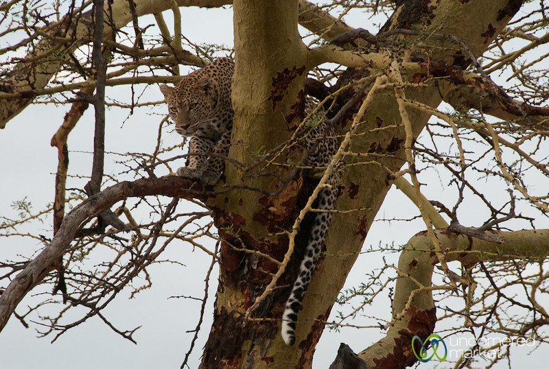 Leopard Walking in Tree - Serengeti, Tanzania