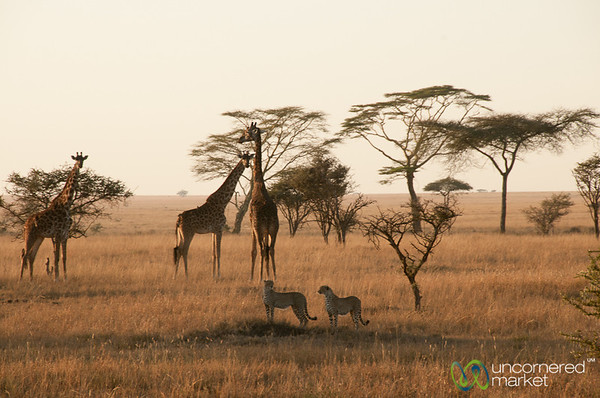 Giraffes and Cheetah Brothers - Serengeti, Tanzania