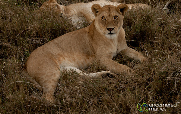 Female Lion Pair - Serengeti, Tanzania