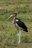 Marabou Stork, Serengeti National Park, Tanzania.  February 2016