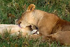 Lions, Serengeti National Park, Tanzania.  February 2016