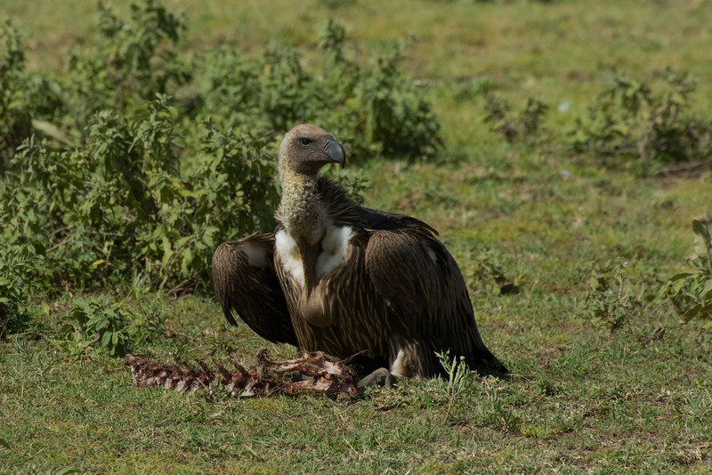 Vulture, Serengeti National Park, Tanzania.  February 2016