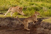 Lion cubs, Serengeti National Park, Tanzania.  February 2016
