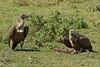 Vultures, Serengeti National Park, Tanzania.  February 2016