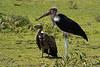 Vulture and Marabou Stork, Serengeti National Park, Tanzania.  February 2016