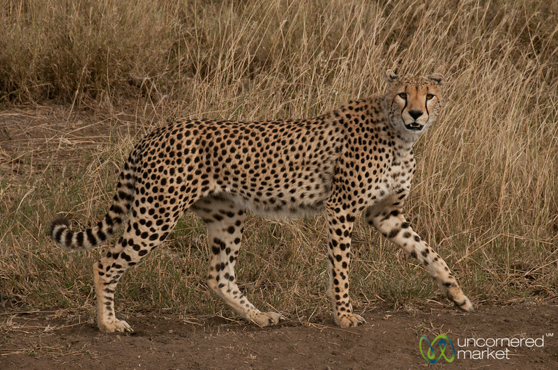 Cheetah Passing Us By - Serengeti, Tanzania