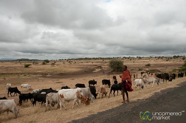 Masai Man with his Cows - Arusha, Tanzania