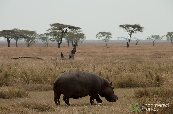 Hippopotamus on Land - Serengeti, Tanzania