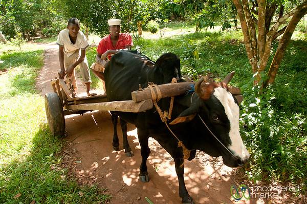 Ox Cart at Spice Farm - Zanzibar, Tanzania