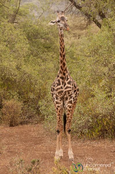 Young Giraffe - Lake Manyara, Tanzania
