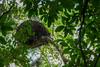 Hamerkop nest, Duluti Forest Reserve, Arusha, Tanzania, Africa.  February 2016