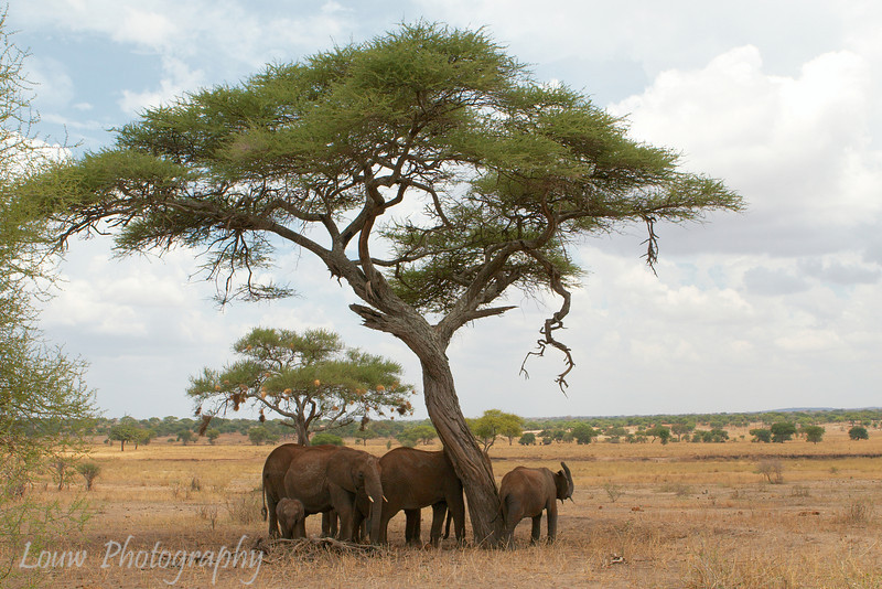 "<a target=""NEWWIN"" href=""http://en.wikipedia.org/wiki/African_Bush_Elephant"">African Bush Elephants (<i>Loxodonta africana</i>)</a> under acacia tree, <a target=""NEWWIN"" href=""http://en.wikipedia.org/wiki/Tarangire_National_Park"">Tarangire National Park</a>, Tanzania"