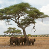 "<a target=""NEWWIN"" href=""http://en.wikipedia.org/wiki/African_Bush_Elephant"">African Bush Elephants (<i>Loxodonta africana</i>)</a> under acacia tree, <a target=""NEWWIN"" href=""http://en.wikipedia.org/wiki/Tarangire_National_Park"">Tarangire National Park</a>, Tanzania"