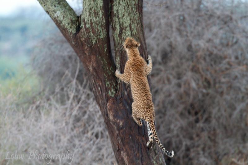 "<a target=""NEWWIN"" href=""http://en.wikipedia.org/wiki/Leopard"">Leopard (<i>Panthera pardus</i>)</a> climbing up tree, <a target=""NEWWIN"" href=""http://en.wikipedia.org/wiki/Tarangire_National_Park"">Tarangire National Park</a>, Tanzania"
