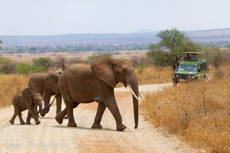 "<a target=""NEWWIN"" href=""http://en.wikipedia.org/wiki/African_Bush_Elephant"">African Bush Elephants (<i>Loxodonta africana</i>)</a>, <a target=""NEWWIN"" href=""http://en.wikipedia.org/wiki/Tarangire_National_Park"">Tarangire National Park</a>, Tanzania"