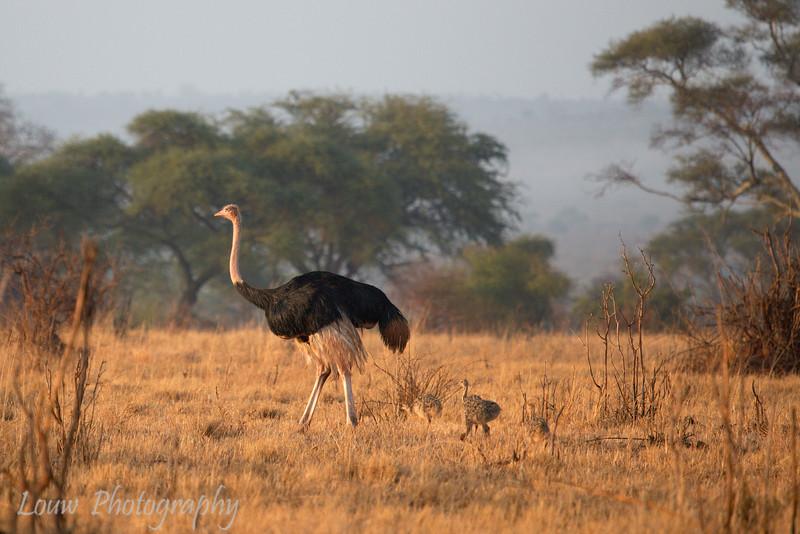 "<a target=""NEWWIN"" href=""http://en.wikipedia.org/wiki/Ostrich"">Ostrich (<i>Struthio camelus</i>)</a> with chicks, <a target=""NEWWIN"" href=""http://en.wikipedia.org/wiki/Tarangire_National_Park"">Tarangire National Park</a>, Tanzania"