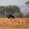 Ostrich (Struthio camelus) with chicks, Tarangire National Park, Tanzania