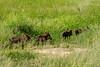 Warthogs, Tarangire National Park, Tanzania, Africa.  February 2016
