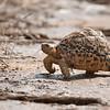 """<a target=""""NEWWIN"""" href=""""http://en.wikipedia.org/wiki/Leopard_tortoise"""">Leopard tortoise (<i>Geochelone pardalis</i>)</a>, <a target=""""NEWWIN"""" href=""""http://en.wikipedia.org/wiki/Tarangire_National_Park"""">Tarangire National Park</a>, Tanzania"""