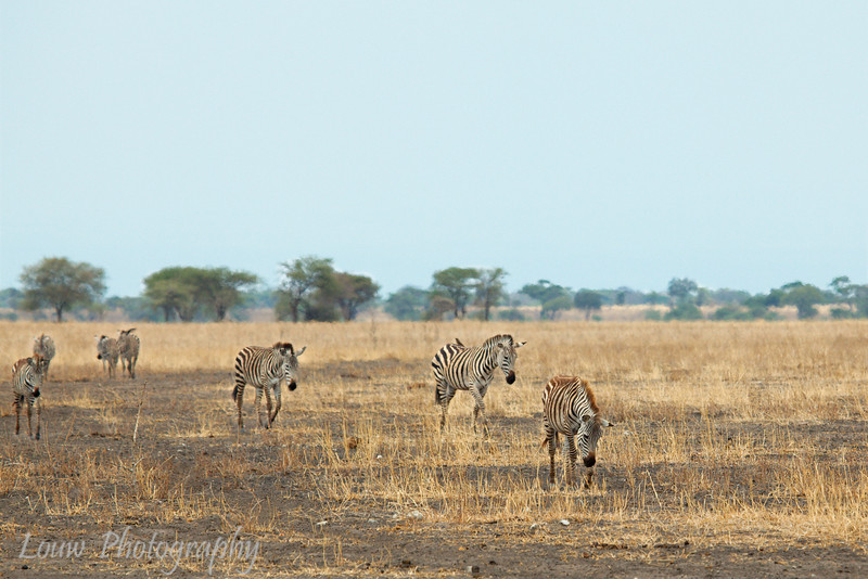 "<a target=""NEWWIN"" href=""http://en.wikipedia.org/wiki/Plains_Zebra"">Common Zebra (<i>Equus quagga</i>)</a>, <a target=""NEWWIN"" href=""http://en.wikipedia.org/wiki/Tarangire_National_Park"">Tarangire National Park</a>, Tanzania"