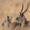 Male and Female Waterbucks (Kobus ellipsiprymnus), Tarangire National Park, Tanzania