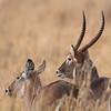 "Male and Female <a target=""NEWWIN"" href=""http://en.wikipedia.org/wiki/Waterbuck"">Waterbucks (<i>Kobus ellipsiprymnus</i>)</a>, <a target=""NEWWIN"" href=""http://en.wikipedia.org/wiki/Tarangire_National_Park"">Tarangire National Park</a>, Tanzania"