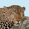 "<a target=""NEWWIN"" href=""http://en.wikipedia.org/wiki/Leopard"">Leopard (<i>Panthera pardus</i>)</a> sleeping, <a target=""NEWWIN"" href=""http://en.wikipedia.org/wiki/Tarangire_National_Park"">Tarangire National Park</a>, Tanzania"