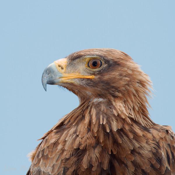 "<a target=""NEWWIN"" href=""http://en.wikipedia.org/wiki/Tawny_eagle"">Tawny Eagle (<i>Aquila rapax</i>)</a>, <a target=""NEWWIN"" href=""http://en.wikipedia.org/wiki/Tarangire_National_Park"">Tarangire National Park</a>, Tanzania"