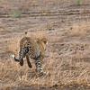"<a target=""NEWWIN"" href=""http://en.wikipedia.org/wiki/Leopard"">Leopard (<i>Panthera pardus</i>)</a>, <a target=""NEWWIN"" href=""http://en.wikipedia.org/wiki/Tarangire_National_Park"">Tarangire National Park</a>, Tanzania"