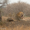 "Male <a target=""NEWWIN"" href=""http://en.wikipedia.org/wiki/Lion"">Lion (<i>Panthera leo</i>)</a> yawning, <a target=""NEWWIN"" href=""http://en.wikipedia.org/wiki/Tarangire_National_Park"">Tarangire National Park</a>, Tanzania"