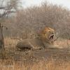 """Male <a target=""""NEWWIN"""" href=""""http://en.wikipedia.org/wiki/Lion"""">Lion (<i>Panthera leo</i>)</a> yawning, <a target=""""NEWWIN"""" href=""""http://en.wikipedia.org/wiki/Tarangire_National_Park"""">Tarangire National Park</a>, Tanzania"""