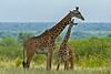 Giraffe, Tarangire National Park, Tanzania, Africa.  February 2016