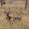"<a target=""NEWWIN"" href=""http://en.wikipedia.org/wiki/Waterbuck"">Waterbuck (<i>Kobus ellipsiprymnus</i>)</a>, <a target=""NEWWIN"" href=""http://en.wikipedia.org/wiki/Tarangire_National_Park"">Tarangire National Park</a>, Tanzania"