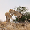 Male Lions (Panthera leo), Tarangire National Park, Tanzania