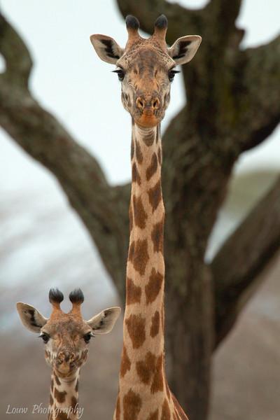 """Mother and Baby <a target=""""NEWWIN"""" href=""""http://en.wikipedia.org/wiki/Giraffe"""">Giraffe (<i>Giraffa camelopardalis</i>)</a>, <a target=""""NEWWIN"""" href=""""http://en.wikipedia.org/wiki/Tarangire_National_Park"""">Tarangire National Park</a>, Tanzania"""