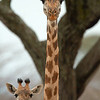 "Mother and Baby <a target=""NEWWIN"" href=""http://en.wikipedia.org/wiki/Giraffe"">Giraffe (<i>Giraffa camelopardalis</i>)</a>, <a target=""NEWWIN"" href=""http://en.wikipedia.org/wiki/Tarangire_National_Park"">Tarangire National Park</a>, Tanzania"