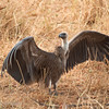 White-backed Vulture (Gyps africanus), Tarangire National Park, Tanzania
