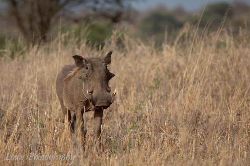 "<a target=""NEWWIN"" href=""http://en.wikipedia.org/wiki/Warthog"">Desert Warthog (<i>Phacochoerus aethiopicus</i>)</a>, <a target=""NEWWIN"" href=""http://en.wikipedia.org/wiki/Tarangire_National_Park"">Tarangire National Park</a>, Tanzania"