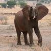 "<a target=""NEWWIN"" href=""http://en.wikipedia.org/wiki/African_Bush_Elephant"">African Bush Elephant (<i>Loxodonta africana</i>)</a>, <a target=""NEWWIN"" href=""http://en.wikipedia.org/wiki/Tarangire_National_Park"">Tarangire National Park</a>, Tanzania"
