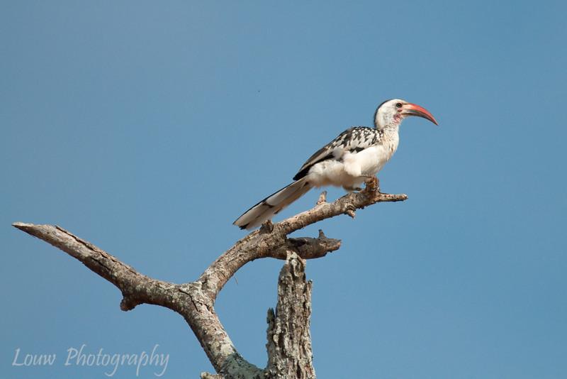 "<a target=""NEWWIN"" href=""http://en.wikipedia.org/wiki/Red-billed_hornbill"">Red-billed Hornbill (<i>Tockus erythrorhynchus</i>)</a>, <a target=""NEWWIN"" href=""http://en.wikipedia.org/wiki/Tarangire_National_Park"">Tarangire National Park</a>, Tanzania"