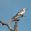 Red-billed Hornbill (Tockus erythrorhynchus), Tarangire National Park, Tanzania