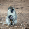 Mother and Baby Black-Faced Vervet Monkeys (<i>Cercopithecus aethiops</i>), Tarangire National Park</a>, Tanzania