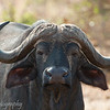 "<a target=""NEWWIN"" href=""http://en.wikipedia.org/wiki/Cape_buffalo"">Cape Buffalo (<i>Syncerus caffer</i>)</a>, <a target=""NEWWIN"" href=""http://en.wikipedia.org/wiki/Tarangire_National_Park"">Tarangire National Park</a>, Tanzania"