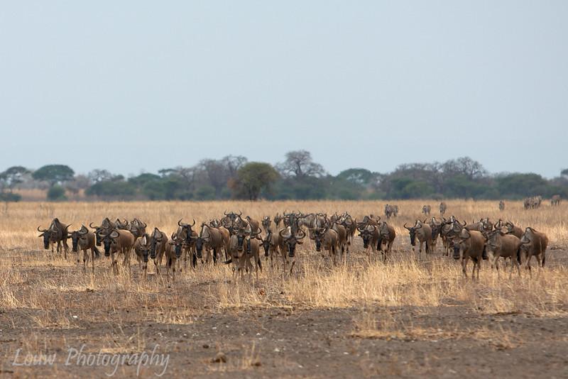 "<a target=""NEWWIN"" href=""http://en.wikipedia.org/wiki/Blue_Wildebeest"">Blue Wildebeest (<i>Connochaetes taurinus</i>)</a>, <a target=""NEWWIN"" href=""http://en.wikipedia.org/wiki/Tarangire_National_Park"">Tarangire National Park</a>, Tanzania"