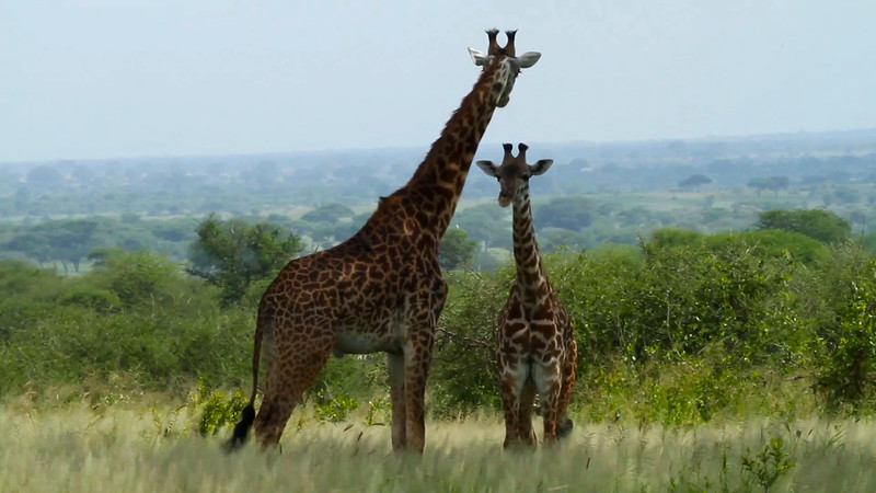 Video of giraffe, Tarangire National Park, Tanzania, Africa.  February 2016