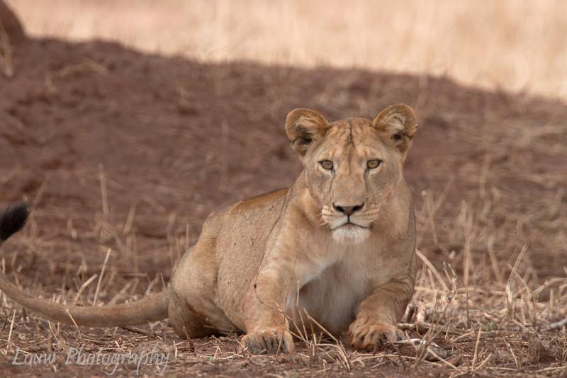 "<a target=""NEWWIN"" href=""http://en.wikipedia.org/wiki/Lion"">Lion (<i>Panthera leo</i>)</a>, <a target=""NEWWIN"" href=""http://en.wikipedia.org/wiki/Tarangire_National_Park"">Tarangire National Park</a>, Tanzania"
