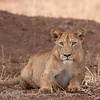 "<a target=""NEWWIN"" href=""http://en.wikipedia.org/wiki/Lion"">Lion (<i>Panthera leo</i>)</a>, <a target=""NEWWIN"" href=""http://en.wikipedia.org/wiki/Tarangire_National_Park"">Tarangire National Park</a>, Tanzania"