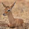 "Juvenile <a target=""NEWWIN"" href=""http://en.wikipedia.org/wiki/Impala"">Impala (<i>Aepyceros melampus</i>)</a>, <a target=""NEWWIN"" href=""http://en.wikipedia.org/wiki/Tarangire_National_Park"">Tarangire National Park</a>, Tanzania"
