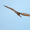 "<a target=""NEWWIN"" href=""http://en.wikipedia.org/wiki/Black-chested_Snake-eagle"">Black-chested Snake-eagle (<i>Circaetus pectoralis</i>)</a>, <a target=""NEWWIN"" href=""http://en.wikipedia.org/wiki/Tarangire_National_Park"">Tarangire National Park</a>, Tanzania"